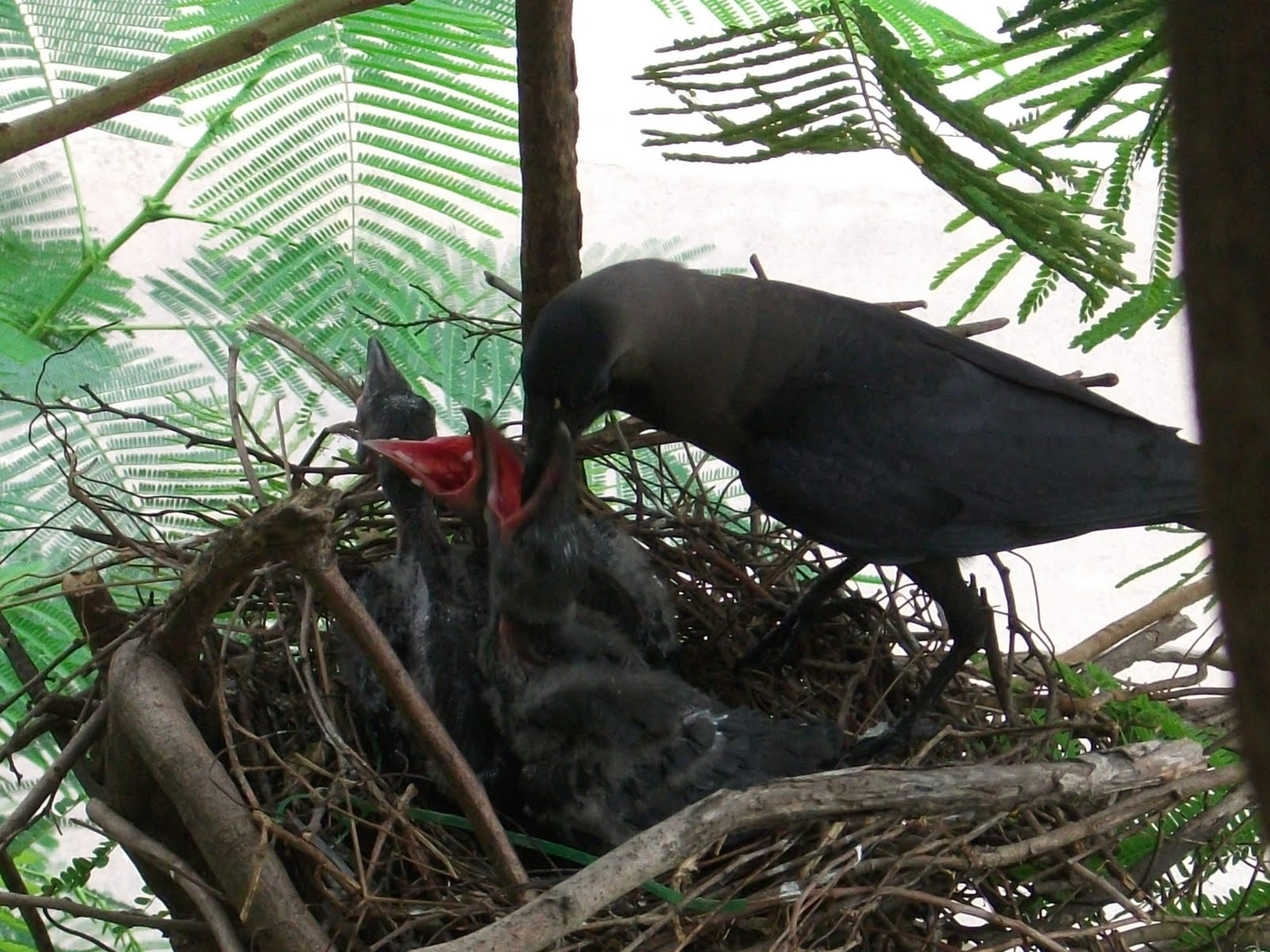 Crow feeding cuckoo chicks