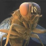 Tsetse Fly